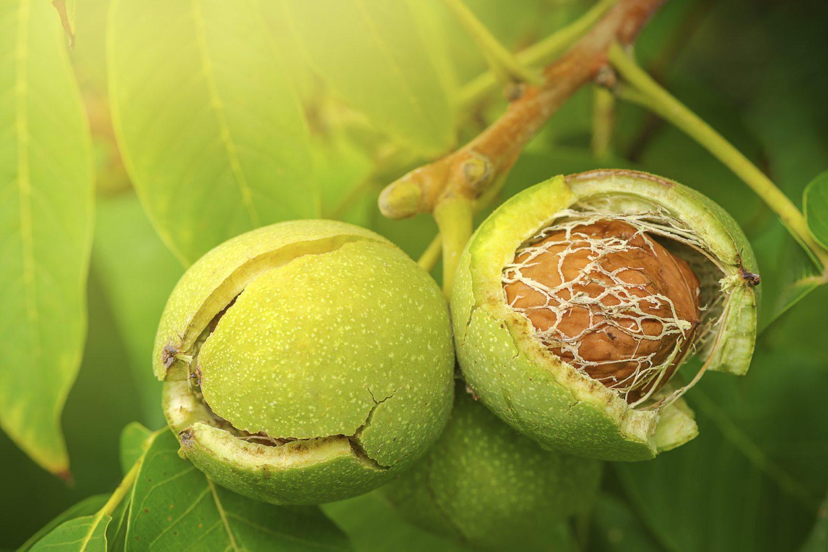 خواص برگ گردو در طب سنتی چیست؟