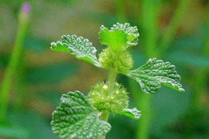 گیاه فراسیون
