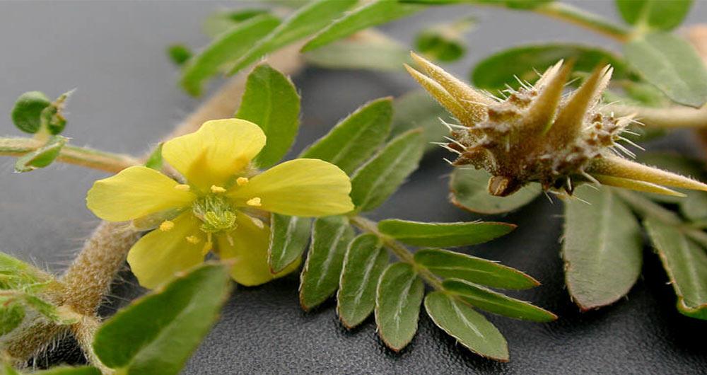 درمان انواع بیماری ها با خواص گیاه خارخاسک