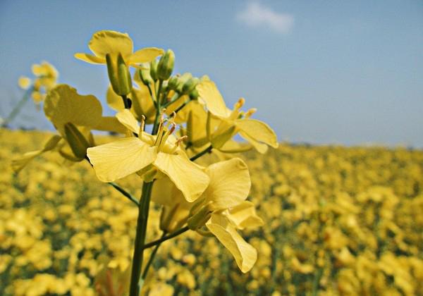 با خواص خردل و مضرات این گیاه آشنا شویم