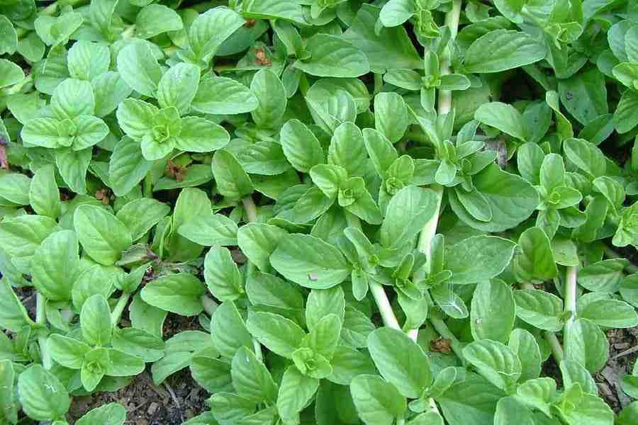 خواص گیاه پولک و نحوه مصرف آن