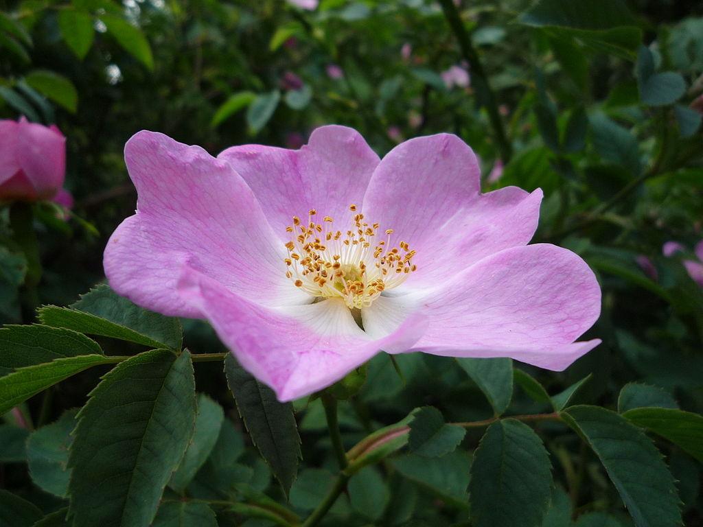 خواص گل نسترن، میوه نسترن و فواید درمانی آن برای سلامتی