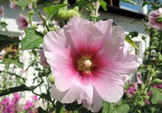 خواص گل ختمی (۲)