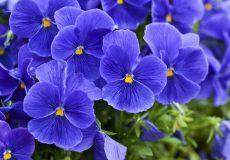 خواص گل بنفشه (۳)