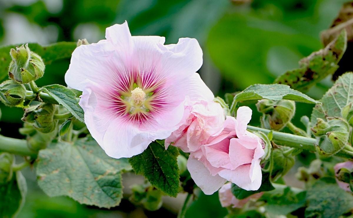 آشنایی با خواص گل ختمی و فواید دارویی آن