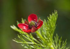 خواص گل شقایق