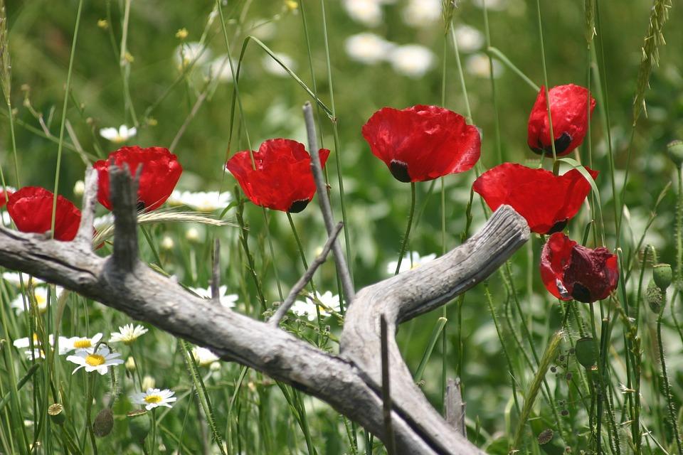 خواص گل شقایق و کاربردهای دارویی و غذایی آن