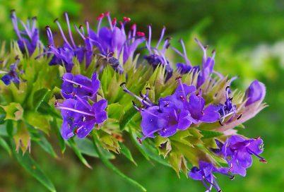 خواص گل زوفا، دمنوش و چای زوفا و فواید آن برای سلامتی