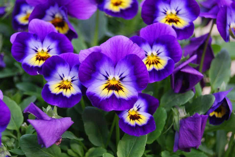 آشنایی با خواص گل بنفشه و انواع آن
